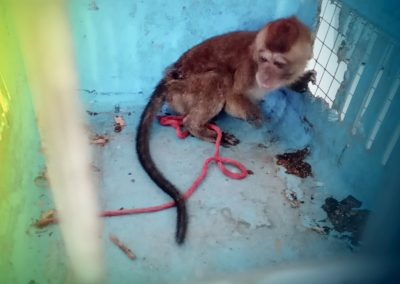 ONE PHILIPPINE LONG-TAILED MACAQUE RESCUED AND TURNED OVER TO PCSDS
