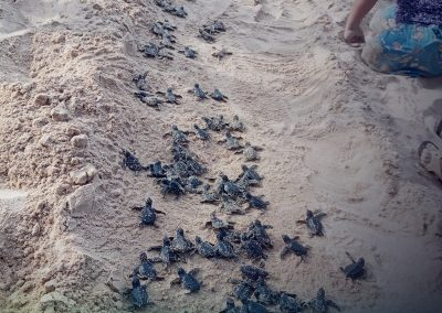 85 Olive Ridley Turtle Hatchlings turned over to PCSDS