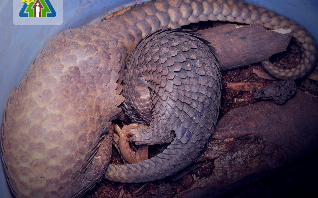 Mother and young pangolin.