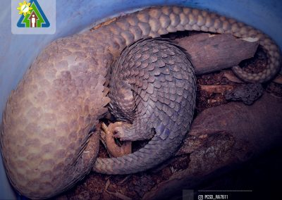City Councilor Elgin Damasco turns over a mother and young Pangolin to PCSDS