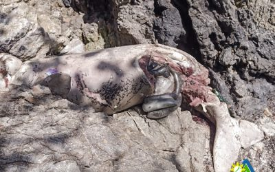 One Dead Dugong Reported to PCSDS