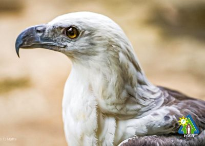 WESCOM turns over one White-bellied Sea Eagle to PCSDS