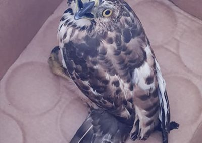 One Crested Goshawk Turned Over to PCSDS