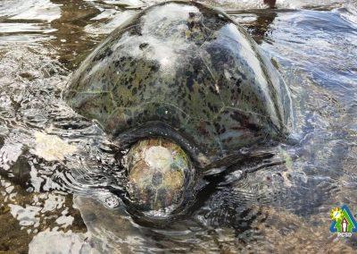 One Green Sea Turtle rescued in Sto. Niño, Napsan, Puerto Princesa City