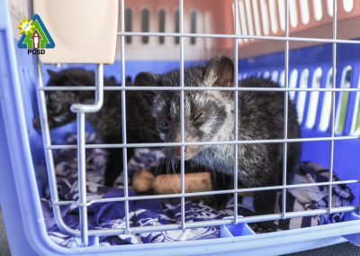 Two Asian Palm Civet Pups Turned Over by Animal Advocates to PCSDS