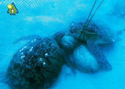 12 Green Sea turtles and one Hawksbill turtle rescued by PCSDS