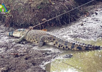 One Saltwater Crocodile rescued by PCSDS