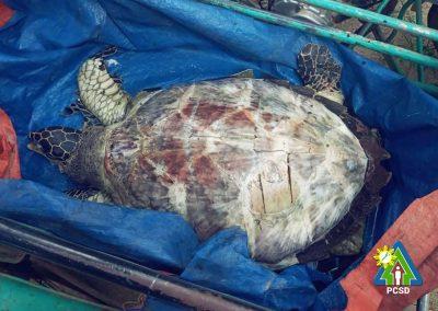 One dead Hawksbill turtle retrieved in Bgy. Buena Suerte, El Nido, Palawan