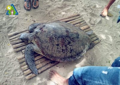 One Green Sea Turtle Turned Over to PCSDS