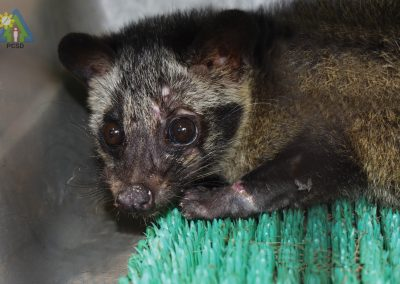 One Asian Palm Civet turned over to PCSDS