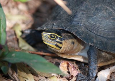 One Southeast Asian Box Turtle turned Over to PCSDS