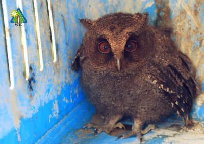One Juvenile Palawan Scops Owl turned over to PCSDS