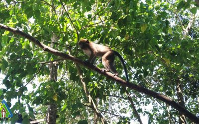 One male Philippine Long-Tailed Macaque rescued in Barangay San Jose, PPC