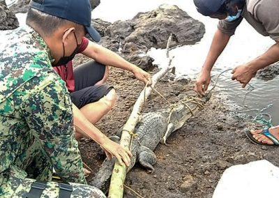 One sub-adult Saltwater Crocodile rescued in Barangay Rio Tuba, Bataraza, Palawan