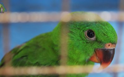 One Blue-naped Parrot Turned over to PCSDS