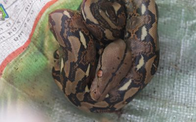 One Reticulated Python turned over to PCSDS