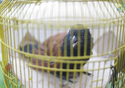 One Philippine Coucal turned over to PCSDS