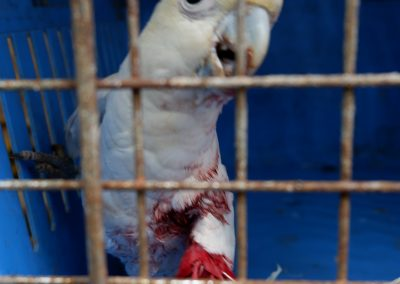 One wounded juvenile Philippine Cockatoo turned over to PCSDS