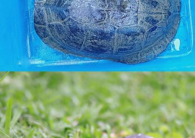 Two Southeast Asian Box turtles turned over to PCSDS