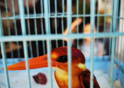 One Oriental Dwarf Kingfisher turned over to PCSDS