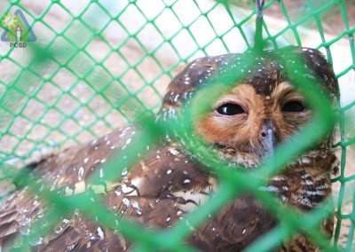 One Spotted Wood Owl turned over to PCSDS